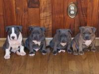 PUPPIES AVAILABLE !! ** PURPLE RIBBON ** 7 generational