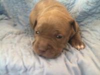 Ukc American Pitbull Terrier puppies three left !! Two