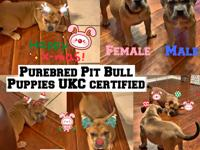 Two UKC Certified Pitbull puppies for sale. Born