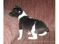 UKCI RAT TERRIER FEMALE PUPS: A VARIETY OF AGES, COLORS