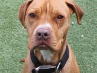 Uller is a 4 year old pitty mix. He is a very shy boy