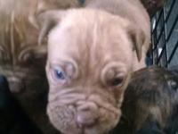 Champ bloodline mother French Mastiff father Neapolitan