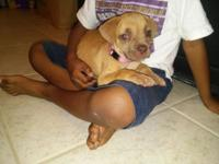 American Bandogge Mastiff puppy 8 week old female ready