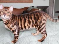Toygers are a domestic rare exotic cat that has looks