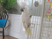 I have a male umbrella cockatoo, about 10 years old,