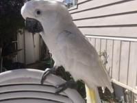Male umbrella cockatoo. Tame. Friendly. Can be loud