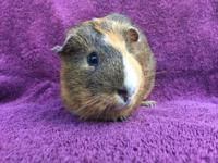 Umesh is a male agouti, orange & white American guinea
