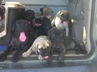 AKC English Mastiff TRAINED puppies GREAT PRICED