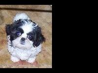 Akc Reg Shih Tzu Puppies Rare Toy Size Mother Is Blue Eyed For