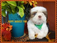 Uncommon puppy male shih Tzu. He has rare green eyes,