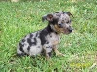 2 males & 1 female blue merle Tri & Blue Tri puppies