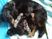 I have 5 chiweenie puppies for sale, mama is a long