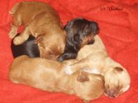 This 3/4 yorkie litter is rather unusually, there is a
