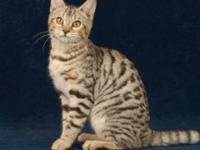 We have 2 Amazing Silver Identified Lady Bengals