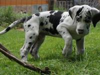 Unique Great Dane Puppies for your kids and family.