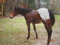 4 year old appaloosa/quarter horse gelding (from