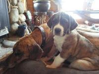 We have two St. Dane litters coming this spring! One