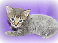 4 week old male manx kitty. Very distinct coloring. The