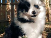 7 week old female Pomeranian puppy, black n white