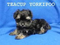 Teddy bear face yorkipoo female. House broken. Teacup
