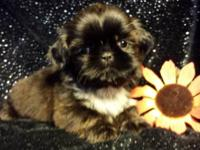 Loving Shih Tzu that is going to steal your heart.