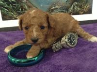 Toy poodle puppies. 3 Rare mahogany red male pups, and