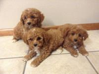 Toy poodle puppies. 2 Rare mahogany red male pups, and
