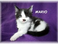Beautiful 8 week old Maine Coon Mix Kittens Social and