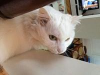 Unusual White Maine Coon Mix Pigean's story Sweet,