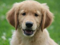 Golden Retriever He�s Shipping is available to an