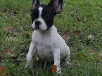 I have French Bulldog puppies available for adoption