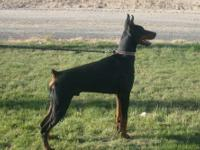 akc upcoming litter of european doberman puppies due