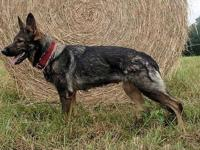 "UPCOMING GERMAN SHEPHERD BREEDING. vom Heinolf's ""H"""