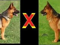 Upcoming litter from top bloodlines & top bred German