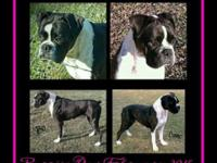 """Puppies Due February 2015 """"Bo"""" is a flashy closed"""