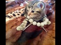 TWO LEFT ! .Bengal AND Savannah mix! , TRI COLORED