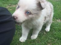 I still have 3 very sweet border collie pups available