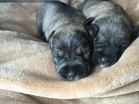 Full blooded Miniature schnauzer puppies born sept 29.