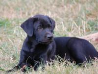 Beautiful Black Labrador Puppies. ONLY 2 Males left