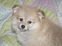 CKC Registered Female Pomeranian Puppy. Born August 8,