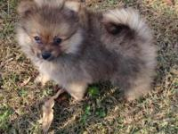 CKC Reg. Red Sable Tiny Male Pomeranian. Born September