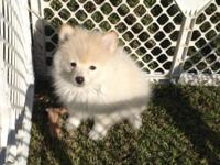 CKC Registered Male Pomeranian Puppy. Born August 8,