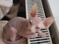 pure beautiful sphynx kittens ready now, They are very