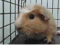 *this guinea pig  is at an animal shelter as we have no