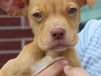 Ursula is a 4 month old, female, Pit Bull/Lab mix (best