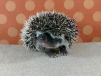We LOVE hedgehogs and are USDA licensed :) We offer a 6