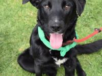 Meet Uther! He is an 8-month old Labrador Retriever who