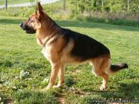We are offering Champion Bloodline German Shepherd