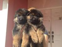 100 % German lines pink papers, Black and Red puppies