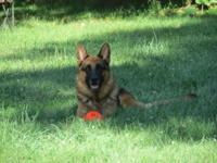 High Quality, Rich red and black, AKC German Shepherd